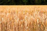 Espiga de maíz — Foto de Stock