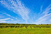 Beautiful rapes in the vineyard — Stock Photo