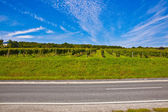 Beautiful rapes in the vineyard with street — Stock Photo