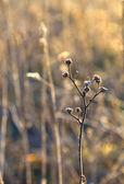 Plantes congelés dans prairie avec rétro-éclairage en hiver — Photo