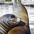 Sea lions at the lake - Stock Photo