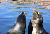 Sea lions at the lake — Stock Photo