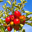Ripe apples at the tree — Stock Photo