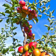 Ripe apples at the tree - Stock Photo
