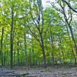 Beautiful wild oak forest — Foto Stock
