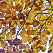 Beautiful oak leaves in autumn at the tree gives a harmonic patt - Stock Photo