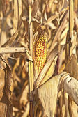 Indian corn w szczegółach — Zdjęcie stockowe