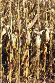 印度玉米的详细信息 — 图库照片