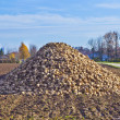Sugar beet field — Stock Photo