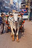 Ox cart transportation on early morning in Delhi, India — Stock Photo