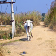 Cow walking along a trail in open area — Stock Photo
