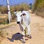 Cow walking along a trail in open area — Stock Photo