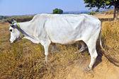 Açık alanda bir yol boyunca yürüyüş inek — Stok fotoğraf