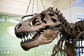 Tyrannosaurus rex skeleton — Stock Photo