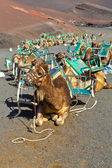 Camels at Timanfaya national park wait for tourists for a guided — Stock Photo