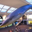 Whale in the american museum for national History — Stock Photo