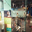 Human skeletton in the American Museum for National History - Stock Photo