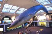 クジラの国民の歴史のアメリカの美術館で — ストック写真