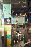 Human skeletton in the American Museum for National History — Stock Photo