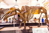 Dinosaur skeletton in the American Museum for National History — Stock Photo