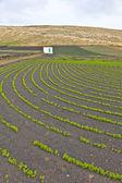 Veld met irrigatiesysteem op grond van de vulkanische lapilli — Stockfoto