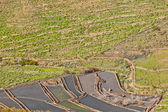 Landscape Lanzarote, terrace cultivation near Haria — Stock Photo