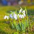 Snowdrops in the grass — Stock Photo