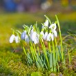 Snowdrops in the grass — Stock Photo #9335335