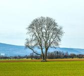 Eenzame boom in het veld — Stockfoto