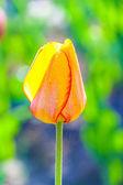 Våren fält med blommande färgglada tulpaner — Stockfoto