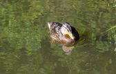 在湖中游泳的鸭子 — 图库照片