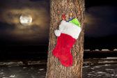Calcetín de navidad en el árbol de pino — Foto de Stock