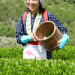 Stock Photo: Woman harvesting tea leaves