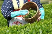 Tea picker — Stock Photo