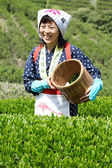 Woman harvesting tea leaves — Stock Photo