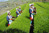 Women harvesting tea leaves — Stock Photo