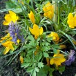 Постер, плакат: Yellow crocus and corydalis sajanensis