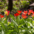 Red Tulips in the garden — Stock Photo
