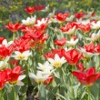 Red an white Tulips in the garden — Stock Photo