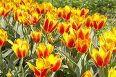 Yellow Tulips in the garden — Stock Photo