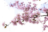 Blossom sakura branch — Stock Photo