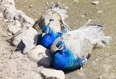 Två påfåglar — Stockfoto