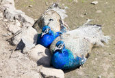 Two peacocks — Stok fotoğraf