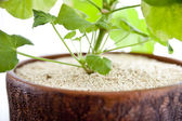 Geranium (pelargonium) — Stock Photo
