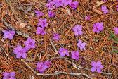 Flowers on the pine needles. — Stock Photo