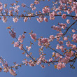 Blooming sakura. — Stock Photo