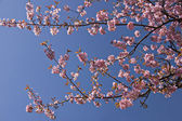 Blooming sakura. — Stock Photo