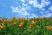 Sky and lilies. — Stock Photo