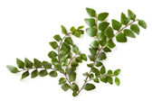Myrtle Beech Leaves Isolated — Stock Photo