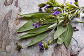 Flowering Sage — Stock Photo